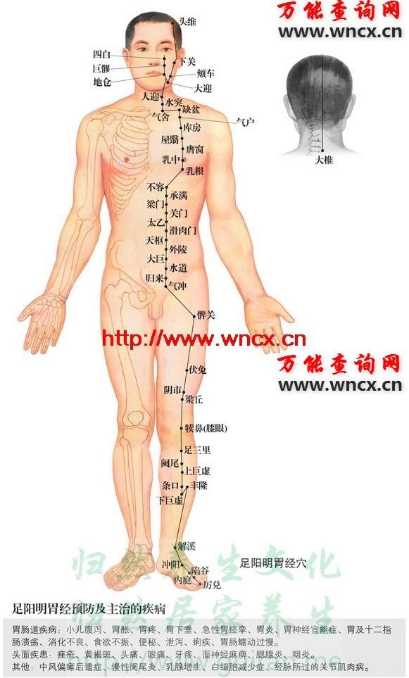 胃经穴位图 - 足阳明胃经穴位图 - 人体穴位图解大全